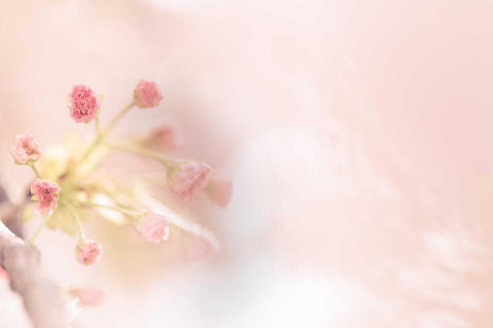温かいピンクの空間で今にも咲きそうな桜