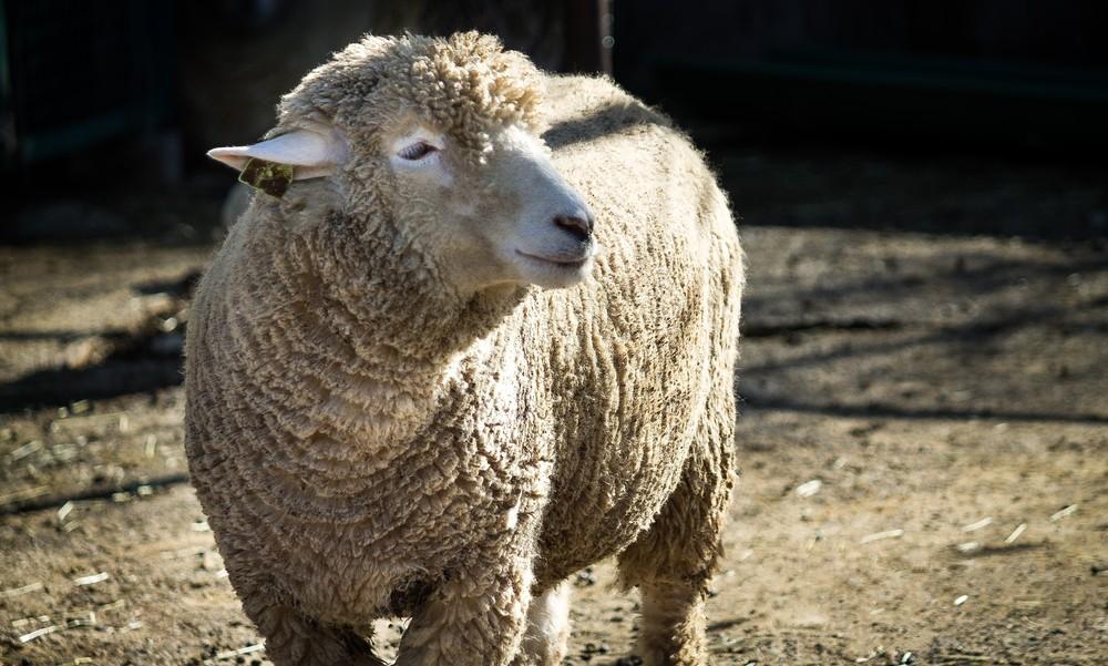 日差しにうっとりする羊さん
