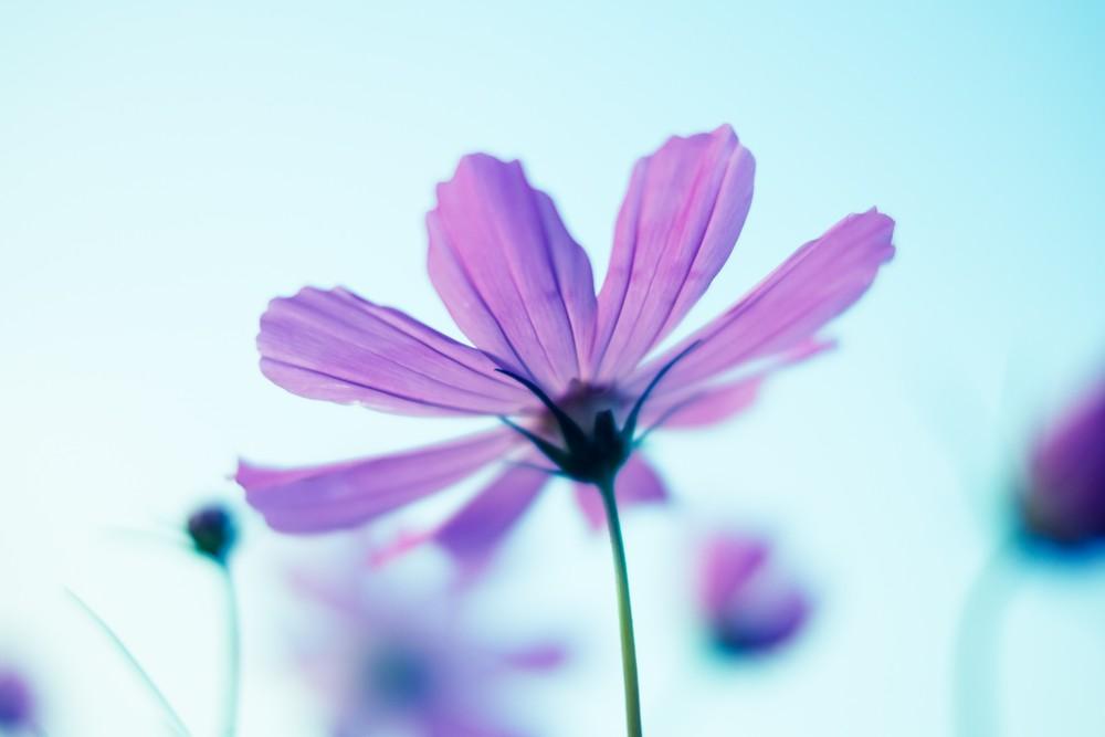 澄んだ空を独占するように凛と立つコスモスの花