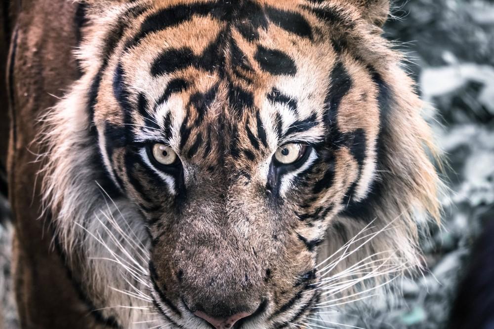 今にも噛みつきそうな眼付きの怖いトラ