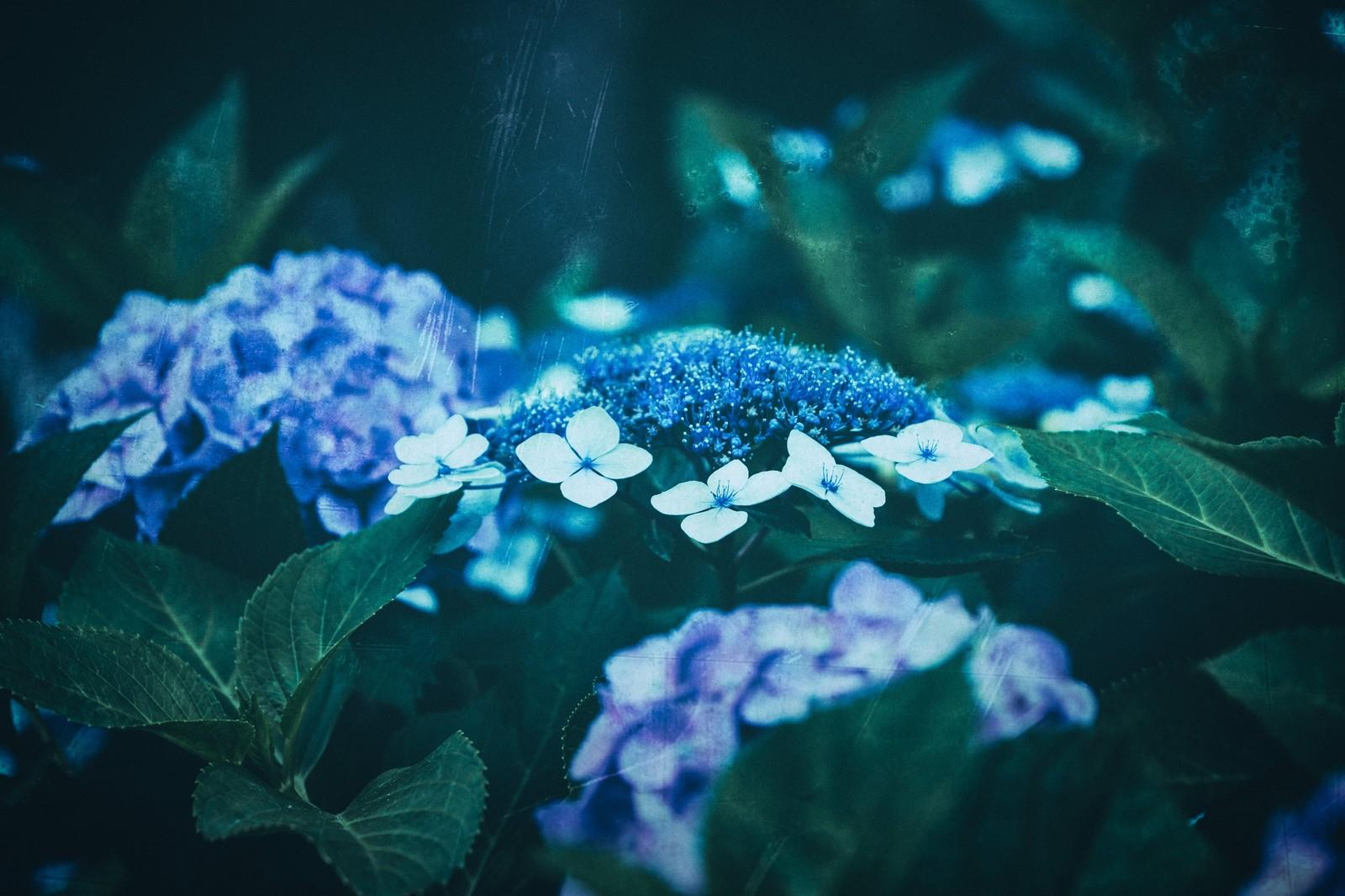雨の中しずかにたたずむ綺麗な青色のアジサイ