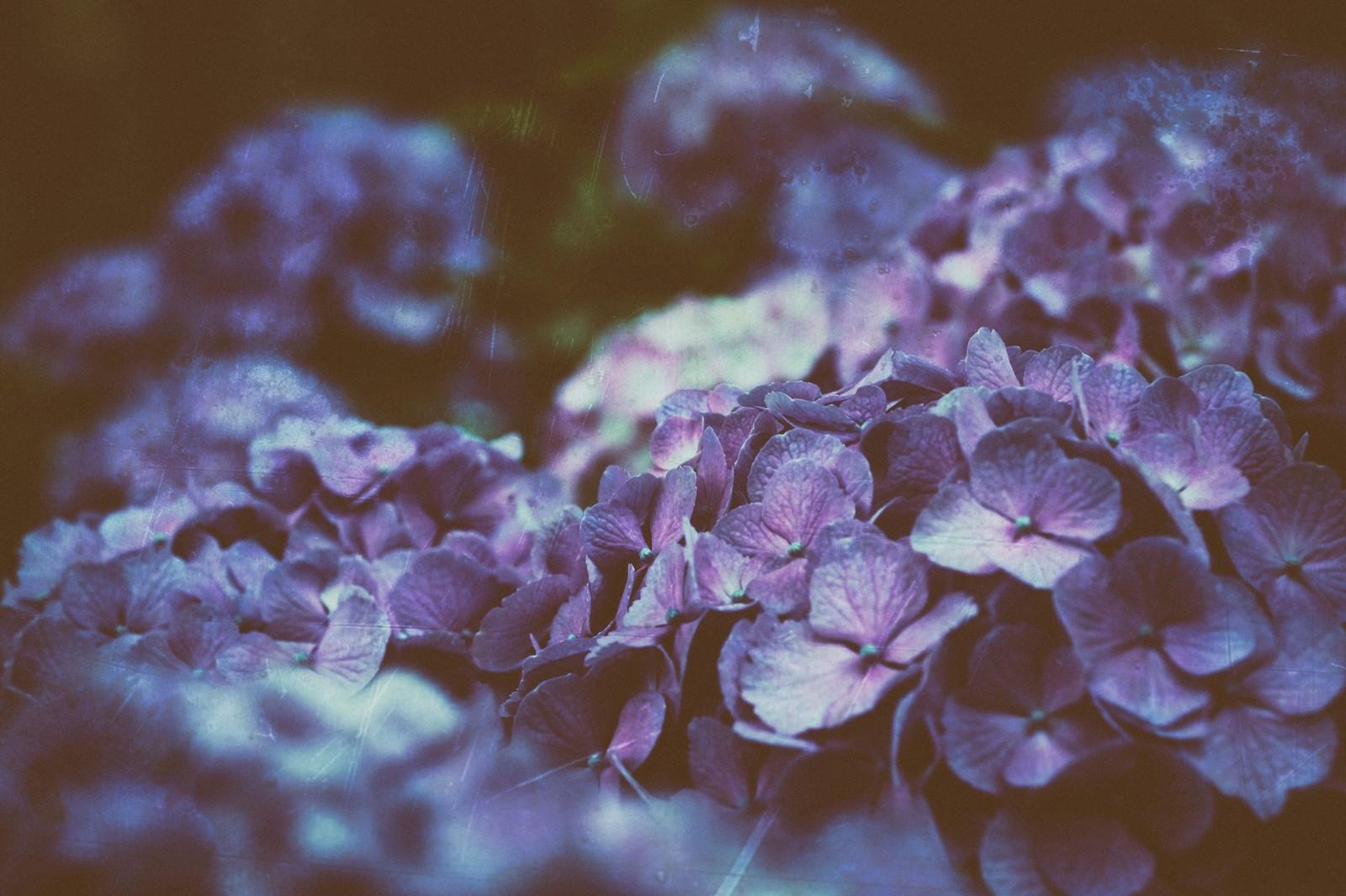 天気の悪い中どす黒くひっそりさく紫陽花