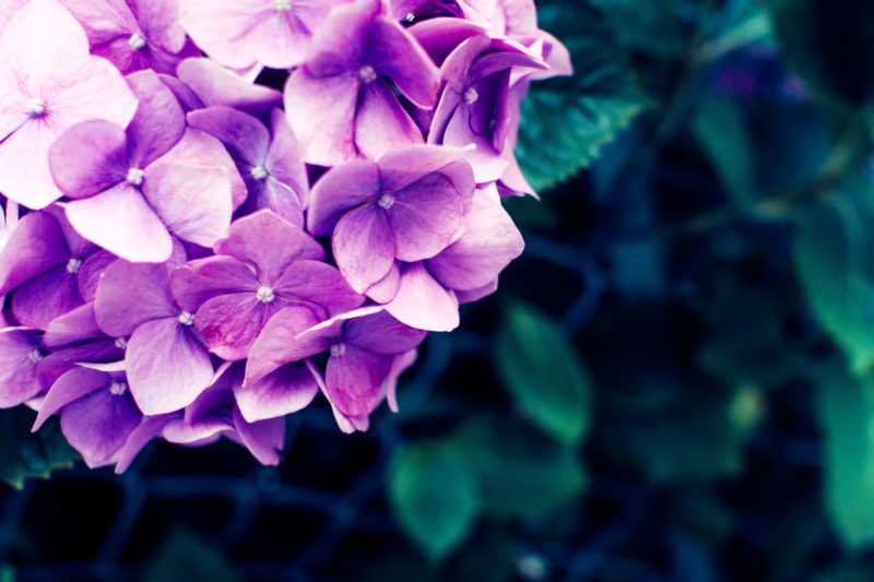 6月をイメージするアジサイの花